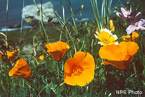 california poppies at point reyes