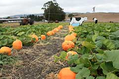 Pumpkins at Adobe Pumpkin Farm in Petaluma