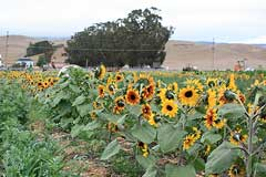 sunflowers at Adobe Pumpkin Farm