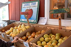Asian pears at Gabriel Farm