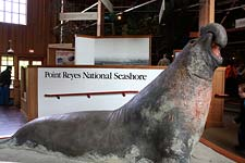 Elephant Seal figure in the Bear Valley Visitor Center in Point Reyes