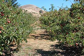 Chileno Valley Ranch u-pick apples