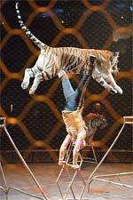 Tabayara and the tiger at Ringling Bros. and Barnum and Bailey Circus