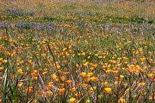 wildflowers at Point Reyes