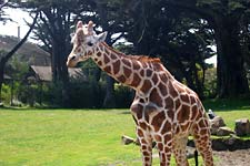 Giraffe at the SF Zoo