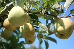 Organic Golden Delicious apples on the tree at Gabriel Farm in Graton