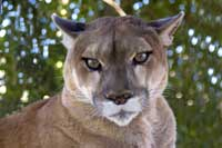 Mountain lion or cougar looking right at you!