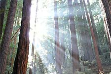 Redwood trees at Muir Woods