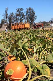 Spring Hill pumpkin field with tractor
