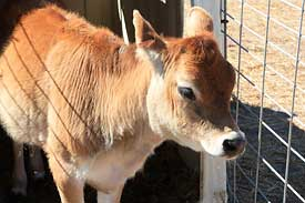 Jersey calf at Peter Pumpkin Patch