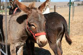 Miniature donkeys at Peter Pumpkin Patch