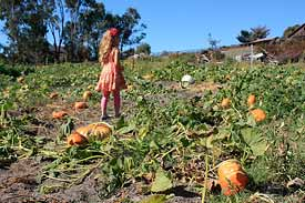 Peterson's pumpkin field