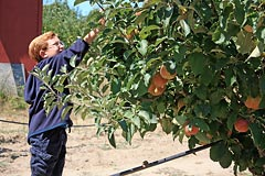 Picking apples at Gabriel Farm