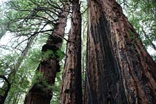 Roy's Redwoods trees