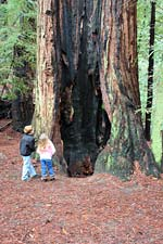Hollow tree at Roy's Redwoods