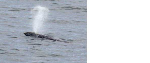 Gray whale off Point Reyes