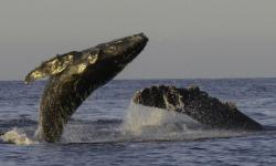 When Whales Win, Everyone Wins: How a Whale Study in Mexico Transformed a Community, Katherina Audley - American Cetacean Society