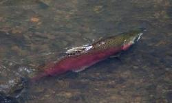 SPAWN Creek Walk salmon