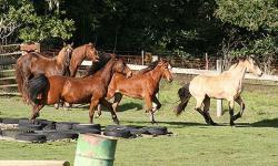 Morgan horses at Pt Reyes