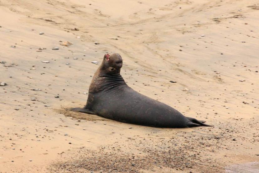 Elephant Seal Point Reyes National Seashore