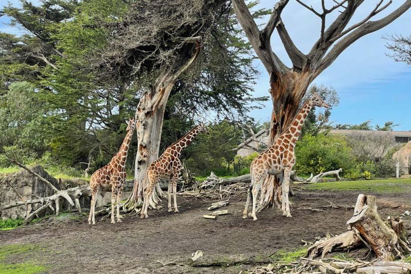 SF Zoo Giraffes