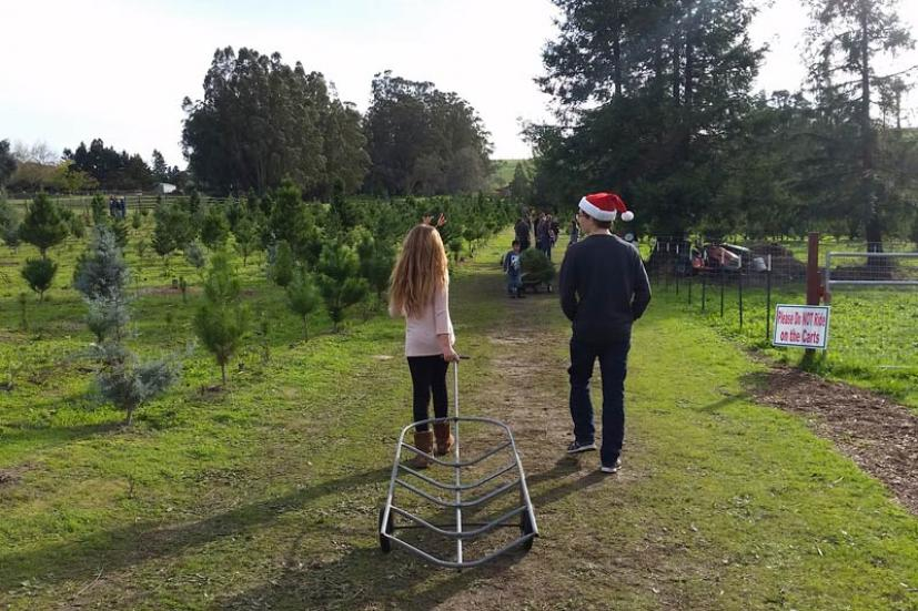 Christmas Tree Lots.The Best Guide To Marin And Sonoma Christmas Tree Farms And