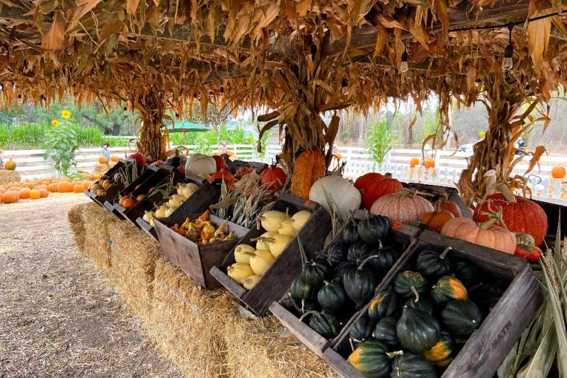 Muelrath Ranches Pumpkin Patch in Santa Rosa