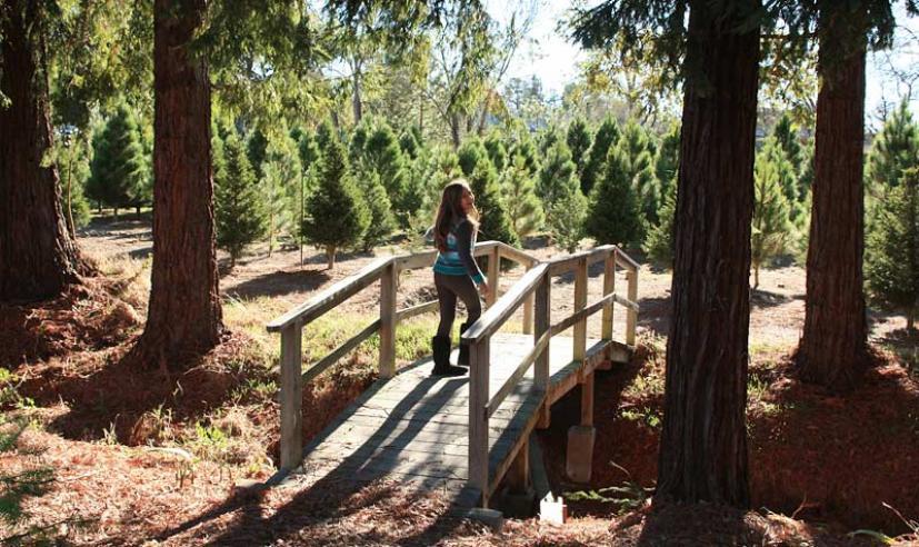 U Cut Christmas Trees.U Cut Christmas Tree Farms In Petaluma Marin Mommies