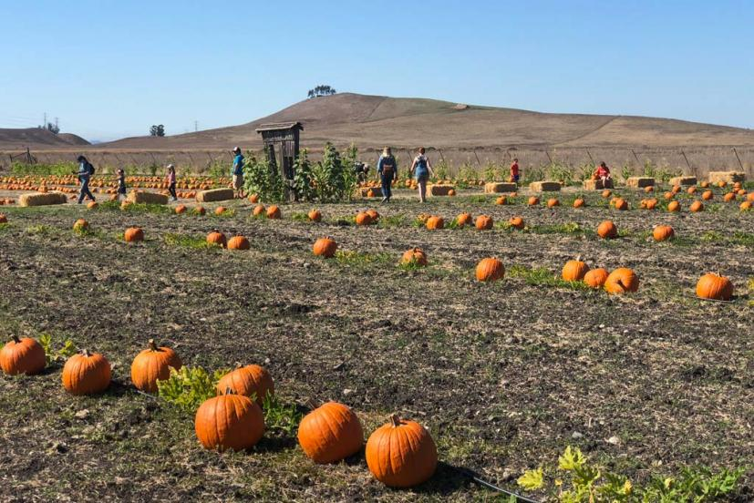 Tolay Fall Festival pumpkin patch