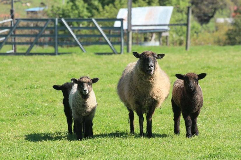 Farm animals Sonoma County Farm
