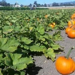 Petaluma Pumpkin Patch