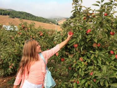 Apple picking Chileno Valley Ranch
