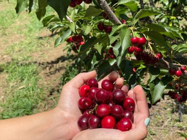 Organic u-pick cherries Brentwood California