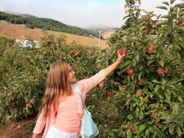 Chileno Valley apple u-pick