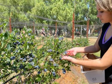 U-Pick Organic Blueberries at Duckworth Family Farm in Sebastopol