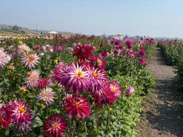 Happy Dahlia Farm in Petaluma