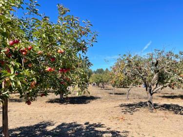 Apple-a-Day Ratzlaff Ranch apple u-pick Sebastopol